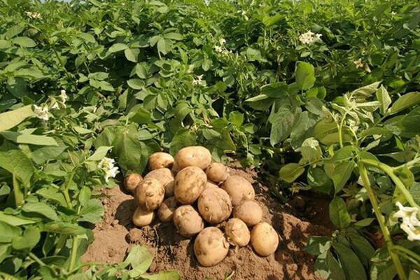 coltivazione--patate_ MOD